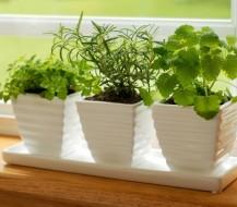 Kaip ir kokius prieskonius auginame ant palangės
