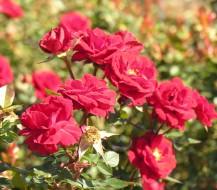 Kaip sodinti rožes