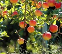 Kaip sodinti vaismedžius