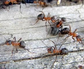 Kaip išnaikinti skruzdėles