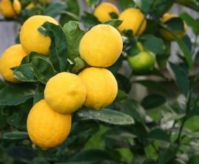 Kaip Lietuvoje auginti citrinmedį