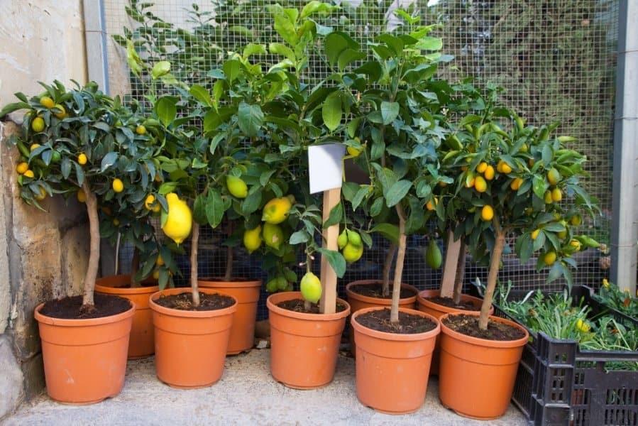 citrinmedziai-