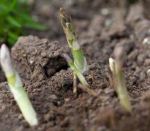 Kaip auginti šparagus (smidrus)