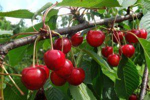 Kaip auginti trešnes