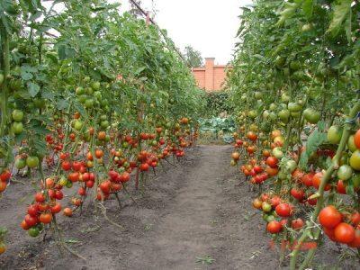 Kaip_sodinti_pomidorus_1
