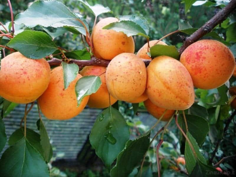 lietuvoje-auginti-abrikosai