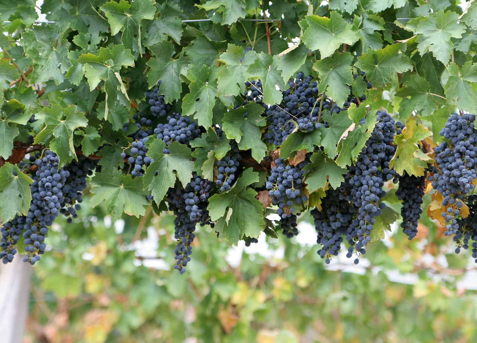 Kaip auginti Vynuoges