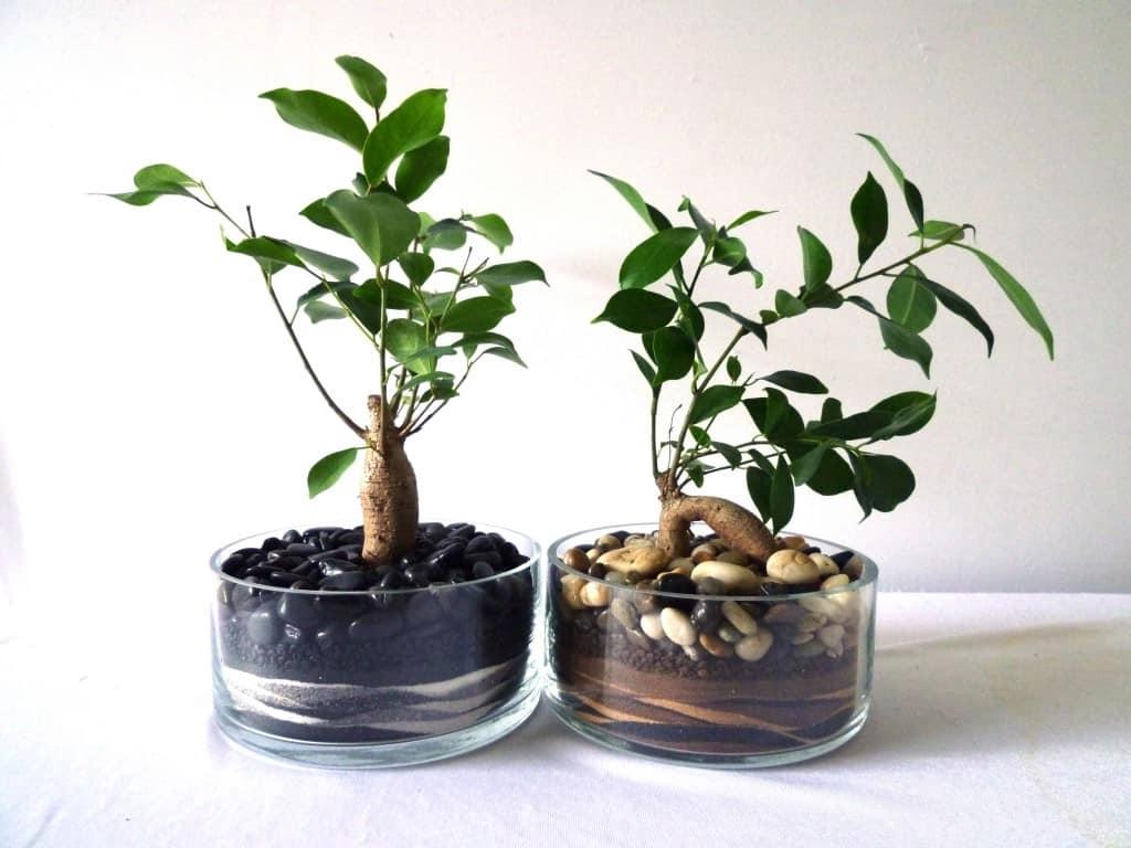 Fikusas – priežiūra ir auginimas