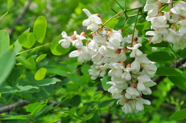 Baltažiedė akacija Acacia angustissima