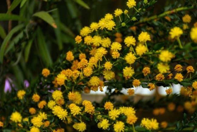 Garbiniuotoji akacija Acacia paradoxa
