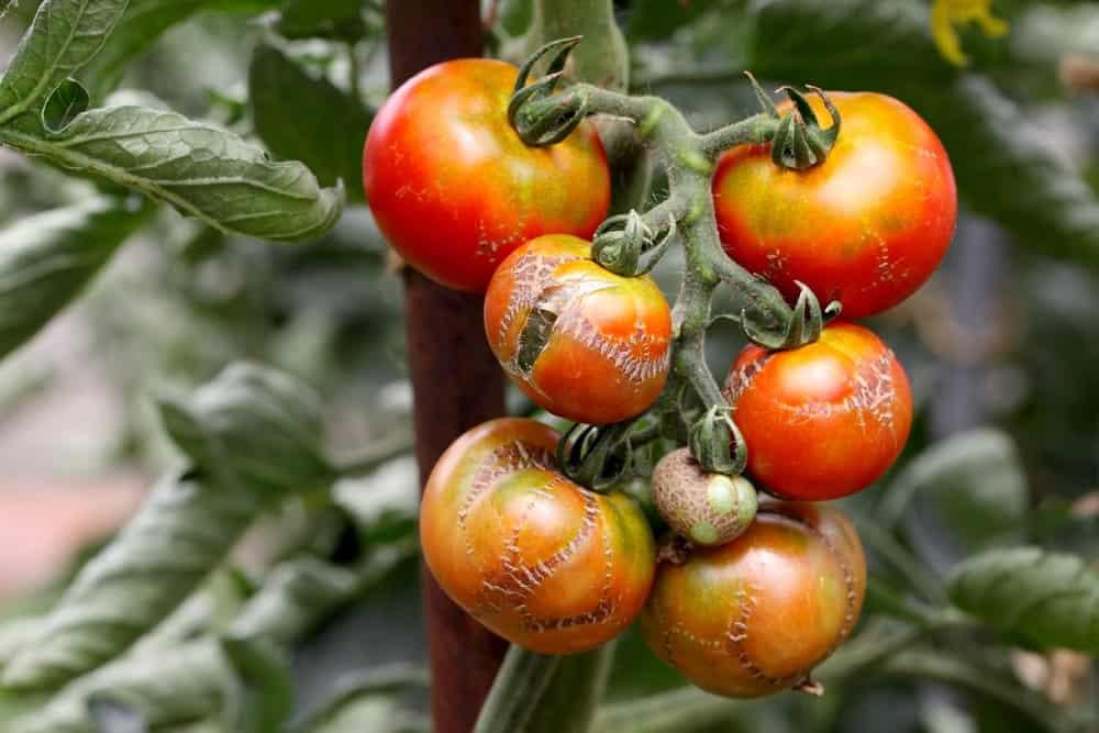 Kaip užauginti skanius pomidorus – pomidorų ligos